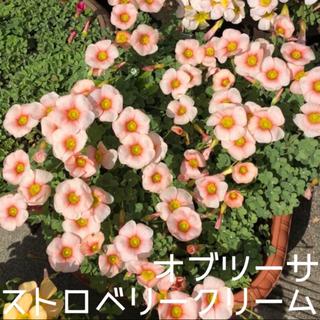 ☆値下げ☆超レア☆オキザリス オブツーサStrawberryCream 球根5個(プランター)