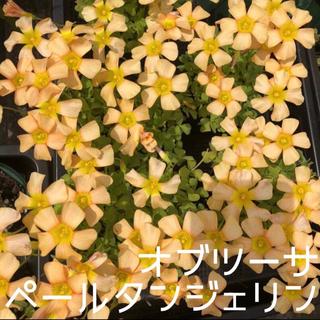 ☆値下げ☆レア☆オキザリス  PaleTangerine 球根 5個(プランター)