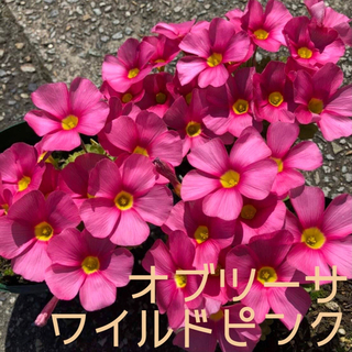 ☆値下げ☆超レア☆オキザリス オブツーサ WildPink 球根 5個(プランター)