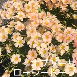 ☆値下げ☆超レア☆オキザリス オブツーサ Rosydown 球根 5個(プランター)
