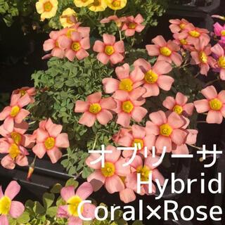 ☆値下げ☆超レア☆オキザリス Hybrid Coral×Rose 球根 4個(プランター)