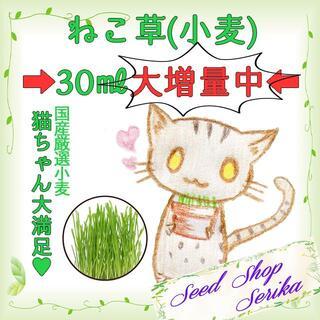 国産 厳選 ネコ草 種子 猫 ペット タネ 猫草 ねこ草 ハーブ 種(その他)