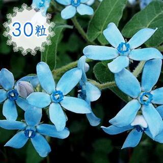 30粒♣種 ブルースター オキシペタラム 瑠璃唐綿 ルリトウワタ 青い花(その他)