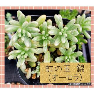 多肉植物 ぷくぷく♡ 虹の玉 錦