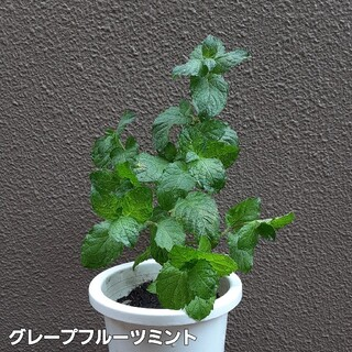 【送料無料】ハーブ グレープフルーツミント 挿し木 植物(プランター)