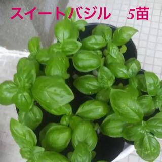 バジル スイートバジル 抜き苗 5本(野菜)
