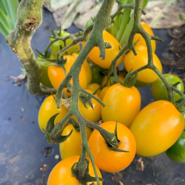 無農薬 フルーツミニトマト 食品/飲料/酒の食品(野菜)の商品写真
