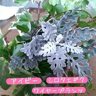 斑入りアイビー・シロタエギク・ワイヤープランツ カット苗セット(プランター)