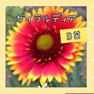 ガイラルディア 花苗 3株15㎝程度(その他)
