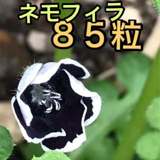 9月から撒き時に 種85粒 ネモフィラ  ペニーブラック(プランター)