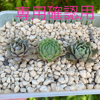 多肉植物 センペルビウム ブルーボーイ トリステ クリープランドモーガン