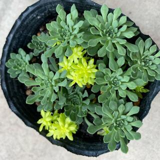 多肉植物 グラウコフィラム 抜き苗