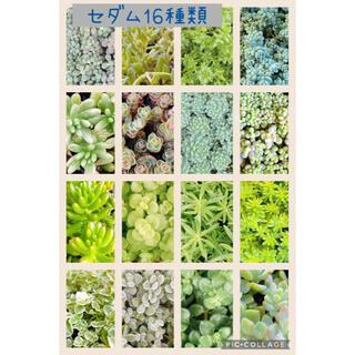 多肉植物 セダム 16種類 セット♡♡(その他)