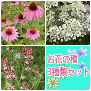 お花の種 3種類セット ✿ オルレアホワイトレース・シレネガリカ・エキナセア(その他)