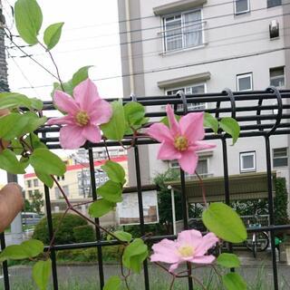 クレマチス苗・ピンクレディ・ラギノーサ系・四季咲・新旧両枝咲き(プランター)