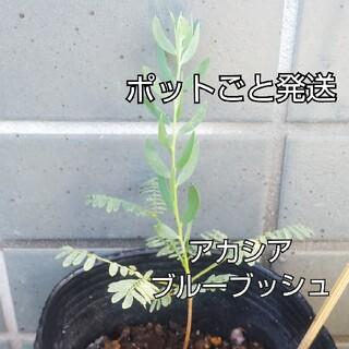 アカシア ブルーブッシュ 苗 実生  ミモザ 観葉植物(プランター)