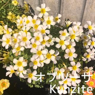 ☆残わずか☆値下げ☆超レア☆オキザリス オブツーサ Kunzite 球根 4個(プランター)