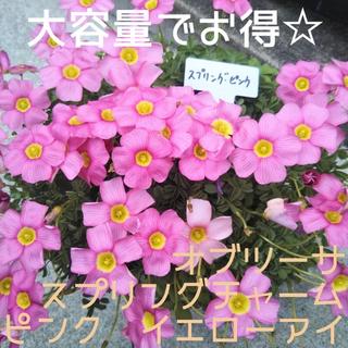 ☆値下げ☆人気☆オキザリス オブツーサ スプリングチャーム ピンク 球根 10個(プランター)