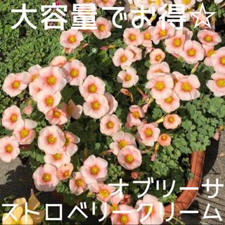 ☆値下げ☆超レア☆オキザリス オブツーサStrawberryCream球根10個(プランター)