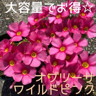 ☆値下げ☆超レア☆オキザリス オブツーサ WildPink 球根 10個(プランター)
