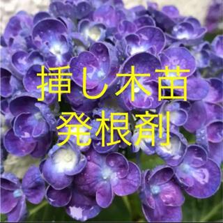 ポップコーン紫陽花挿し木苗 発根済み❣️