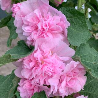 タチアオイの種 八重咲きピンク 30個(プランター)