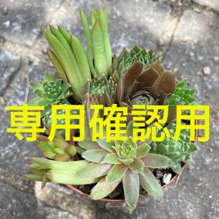 多肉植物 センペルビウム 爪蓮華 カット苗 根あり苗 いろいろ(その他)
