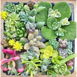 多肉植物 セダム 30種 ペレスデラロサエ レア入り.☆.。.:*・(その他)