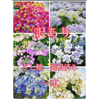 紫陽花 (その他)