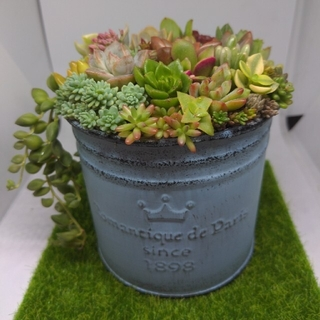 ❀ 多肉植物寄せ植え ❀ カモメピック ❀ ブリキポット(ブルー)(プランター)
