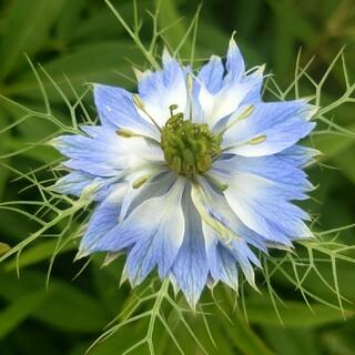 ニゲラ(ブルー) 種(その他)
