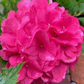 初根済みパッションピンクの可愛い紫陽花挿木挿し木苗(プランター)