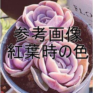 ブルーサプライズ1個 韓国苗 エケベリア(その他)