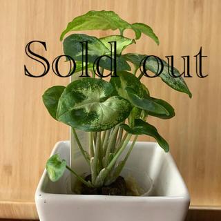 ミニ観葉植物 シンゴニウム(プランター)