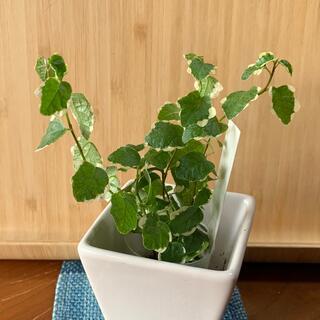ミニ観葉植物 プミラ 斑入り(プランター)