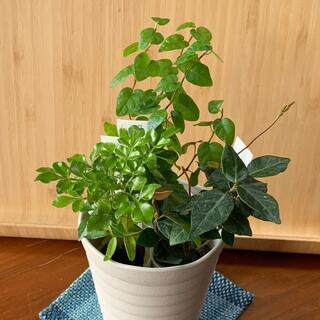 ミニ観葉植物 3種盛り(プランター)