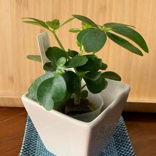 ミニ観葉植物 カポック シェフレラ(プランター)