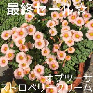 ☆値下げ☆超レア☆オキザリス オブツーサStrawberryCream 球根7個(プランター)