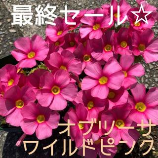☆値下げ☆超レア☆オキザリス オブツーサ WildPink 球根 7個(プランター)