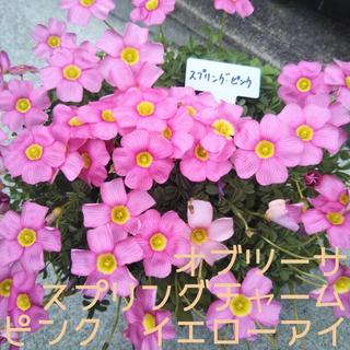 ☆値下げ☆人気☆オキザリス オブツーサ スプリングチャーム ピンク 球根 6個(プランター)