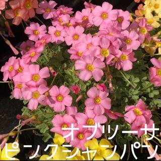☆残わずか☆値下げ☆オキザリス オブツーサ PinkChampagne 球根5個(プランター)