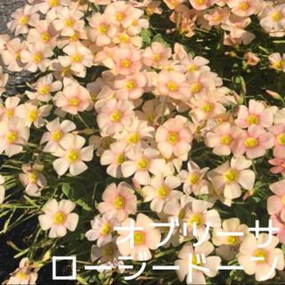 ☆値下げ☆超レア☆オキザリス オブツーサ Rosydown 球根 4個(プランター)