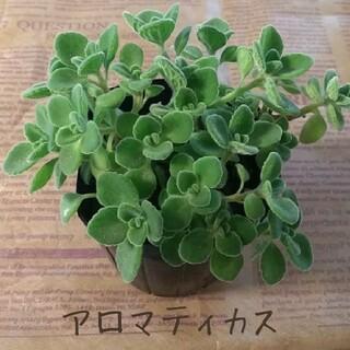 多肉植物【アロマティカス】カット苗(プランター)