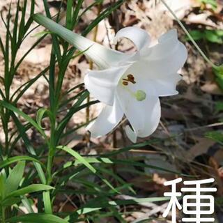種☘️ 新鉄砲百合 100粒(その他)