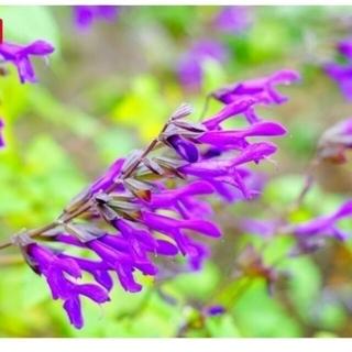 宿根草メドーセージ紫花の苗1つ(その他)