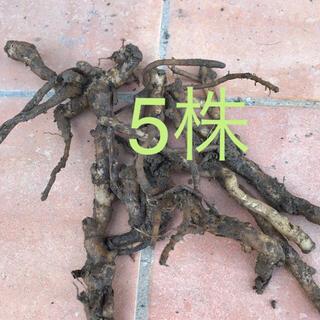 ミョウガ  地下茎 5株 無農薬(プランター)