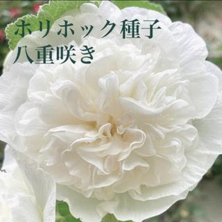 ホリホック☆タチアオイ☆八重咲き☆白☆種子☆花(その他)
