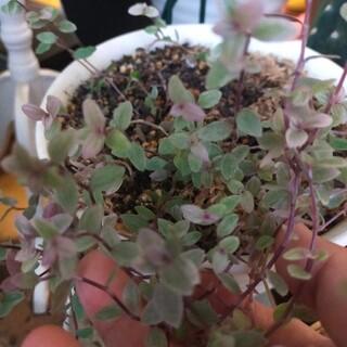 多肉植物   カリシアロザート(プランター)