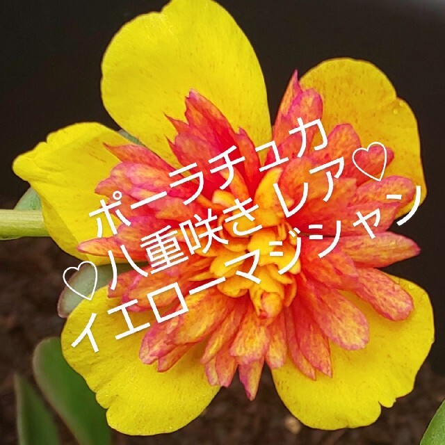 ポーチュラカ 八重咲き レア イエローマジシャンカット苗  10本 ハンドメイドのフラワー/ガーデン(プランター)の商品写真