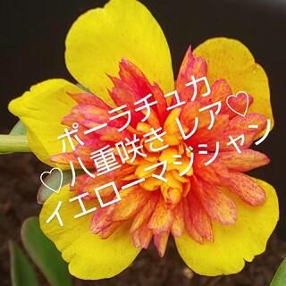 ポーチュラカ 八重咲き レア イエローマジシャンカット苗  10本(プランター)
